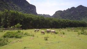 Jordbruksmark med buffelflocken som äter övresikt för nytt gräs stock video