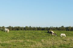 Jordbruksmark med kor i Nederländerna Royaltyfria Foton
