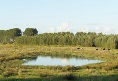 Jordbruksmark med kor i Nederländerna Royaltyfri Foto