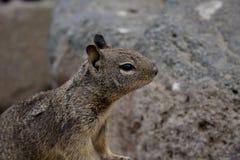 Jordekorre i Kalifornien Royaltyfri Foto