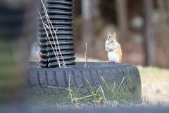 Jordekorre på ett gummihjul Arkivfoto