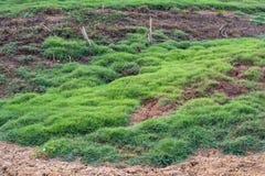 Jordfotspårnötkreaturflock med gräsmattor Royaltyfria Foton