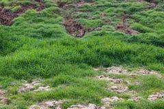Jordfotspårnötkreaturflock med gräsmattor Royaltyfri Fotografi