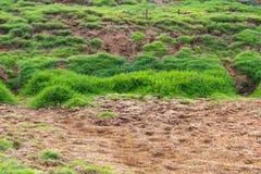 Jordfotspårnötkreaturflock med gräsmattor Fotografering för Bildbyråer