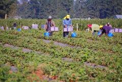 Jordgubbar för hacka för fältarbetare Arkivfoto