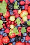 Jordgubbar för samling för bär för bärfrukter nya, blåbär Fotografering för Bildbyråer