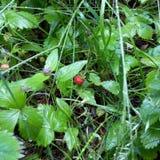 Jordgubbar i gräset arkivbilder