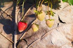 Jordgubbar i trädgård Arkivfoto