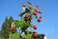 Jordgubbar på en buske mot blå himmel arkivbild