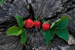 Jordgubbar på en trästubbe fotografering för bildbyråer