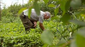 Jordgubbar rött som är mogna söka efter en man i trädgården Skördsäsong och röda söta jordgubbar stock video