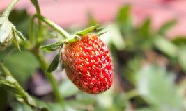 jordgubbe Arkivfoton