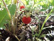 jordgubbe Fotografering för Bildbyråer