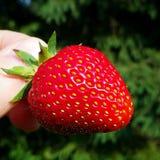 jordgubbe Arkivbilder