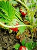 Jordgubbe bär, grönsakträdgård som är söt, vår royaltyfria bilder