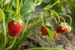 jordgubbe Det mest smakliga och mest doftande bäret sund mat och vitaminer Arkivfoto