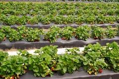 jordgubbe för 2 lapp Arkivfoto