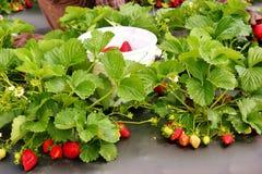 jordgubbe för 4 lapp Royaltyfri Foto