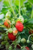 jordgubbe för buskeskyjordgubbar Arkivbild