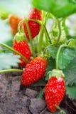 jordgubbe för buskeskyjordgubbar Arkivbilder