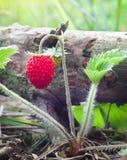 jordgubbe för makro för tät miljö för bär växande naturlig upp wild Arkivfoto
