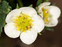 Jordgubbe för vita blommor i natur Närbild Royaltyfri Fotografi