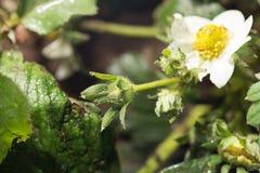 Jordgubbe för vita blommor i natur Närbild Royaltyfria Bilder