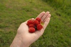 jordgubbe i gömma i handflatan av kvinnors händer Royaltyfri Fotografi