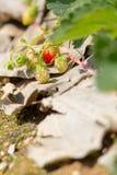 Jordgubbe i jordgubbelantgård Arkivbild