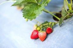 Jordgubbe i organisk jordgubbelantgård arkivfoton