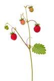 Jordgubbe med isolerade mogna frukter Arkivbild