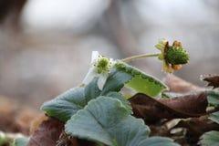 Jordgubbe på en växt, i grön färg som fortfarande växer upp i ett växthus i Nederländerna Arkivfoto