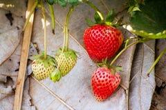 Jordgubbe som är ny från lantgården Royaltyfria Bilder