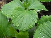 Jordgubbeblad efter regn royaltyfria foton