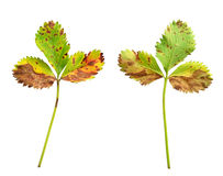 Jordgubbeblad med den svamp- sjukdomen, bladscor Royaltyfri Foto