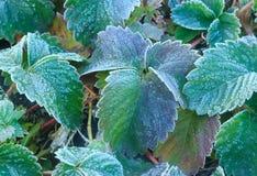 Jordgubbebuskar som täckas med frost fryste gräsplansidor Den skarpa förkylningen Arkivbild