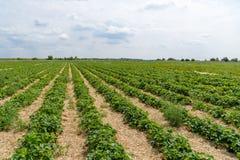 Jordgubbefält i Tyskland Arkivfoton
