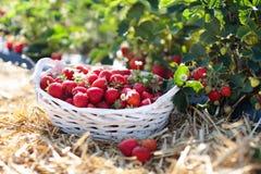Jordgubbefält på fruktodling Bär i korg arkivbild