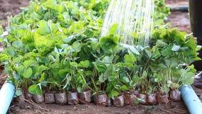 Jordgubbegrodd i lantgårdväxten och bonden Watering