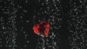 Jordgubbehalvor som plaskar in i klart vatten på svart bakgrund Nya bär i vattnet Organiskt bär som är sunt lager videofilmer