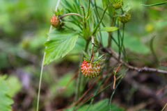 Jordgubbeharnesk Fragà ¡ ria - släkte av perenna örtartade växter av den rosa familjen Arkivbild