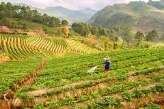 Jordgubbelantgård på bergstoppet Thailand Arkivbilder