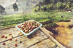 Jordgubbelantgård på Doi angkhang, Chiang Mai, Thailand digitalt royaltyfria bilder