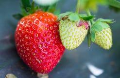 Jordgubben bär frukt med behandla som ett barn jordgubben Royaltyfri Bild