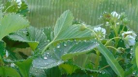 Jordgubbesidor i regndroppar Arkivfoton