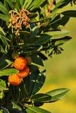 Jordgubbeträd - arbutusunedo royaltyfri foto