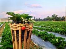 Jordgubbeträdgårdar Arkivfoto