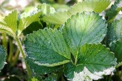 Jordgubbeväxt efter regnet med solljus Royaltyfri Foto
