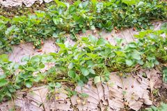 Jordgubbeväxt med blommasidor och mogna bärfrukter Arkivfoton