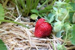 Jordgubbeväxt med en mogen jordgubbe Arkivbilder